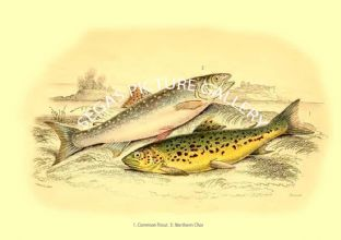 Common Trout - Northern Char